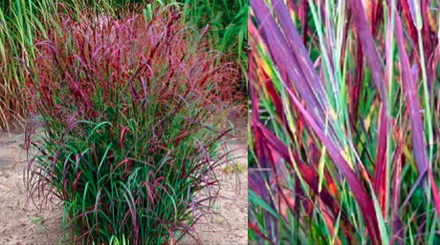 Panicum virgatum prairie fire stonepocket know what for Very tall ornamental grasses